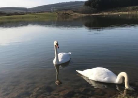 Thrunton Swans