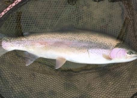 John Metcalfe from blyth landed this 10lb Rainbow from Coe Crag breaking his PB record