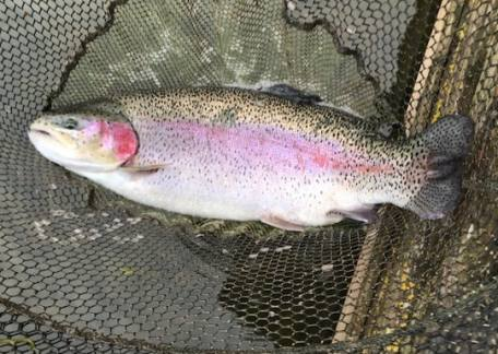Another nice Rainbow from Long Crag estimated at 10lb, landed by Brian Gould