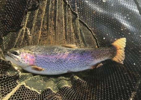 Matty's 10lb Rainbow in the net before being safely released.